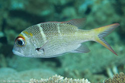 BD-130713-Maldives-0396-Monotaxis-grandoculis-(Forsskål.-1775)-[Humpnose-big-eye-bream].jpg